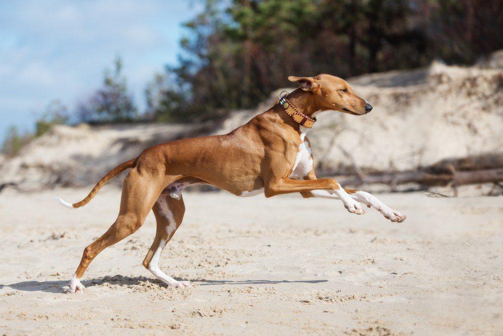Azawakh cão