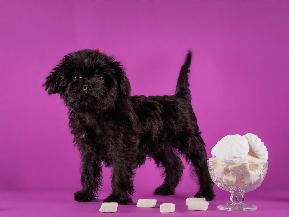 Affenpinscher cachorro