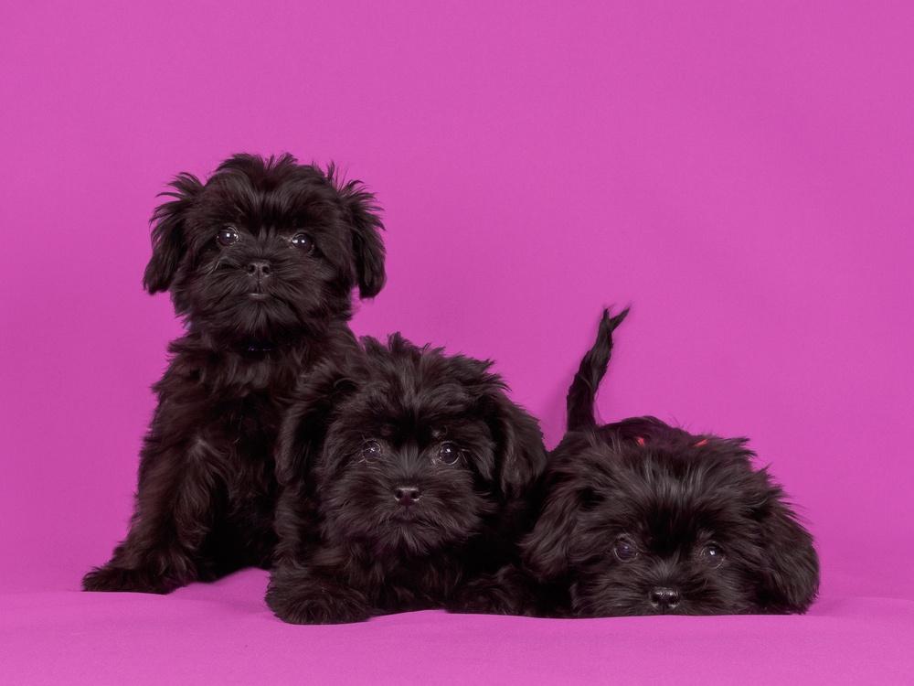 Affenpinscher cão