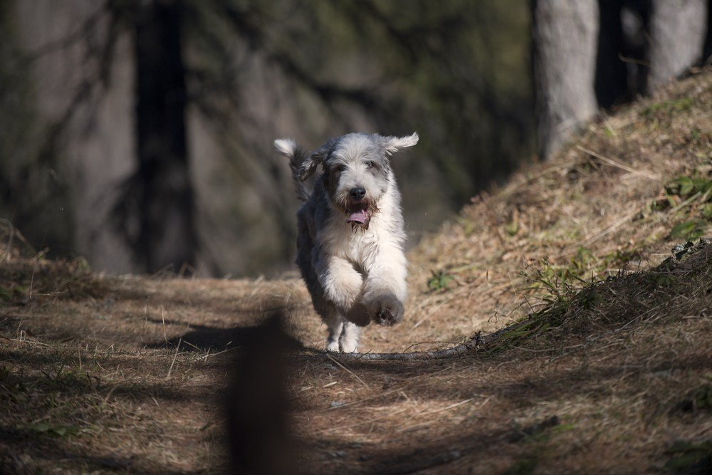 Bearded Collie correndo