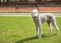 cachorro Bedlington terrier