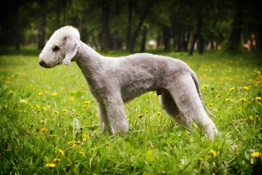 Bedlington terrier raça