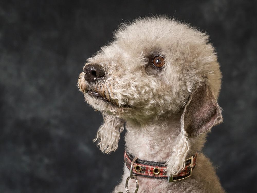 Bedlington terrier cão