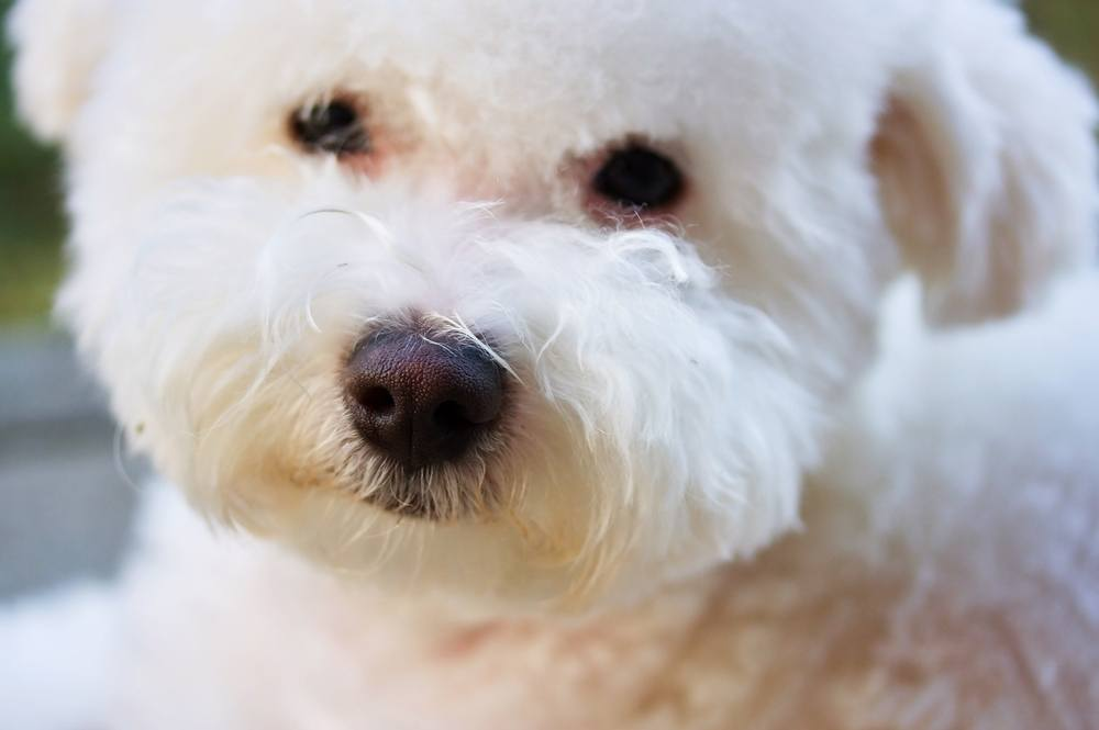 Bichôn bolonhês cachorro