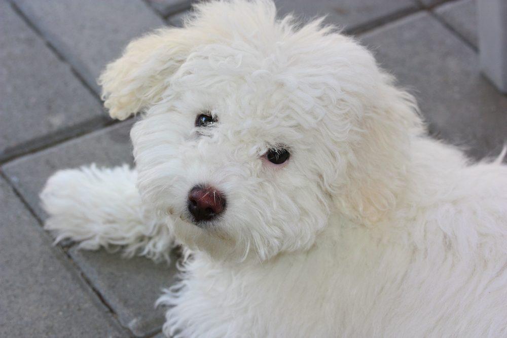 Bichôn bolonhês cão