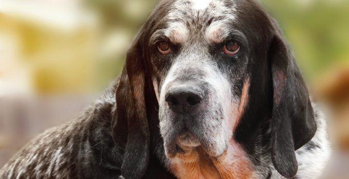 Bluetick Coonhound cão