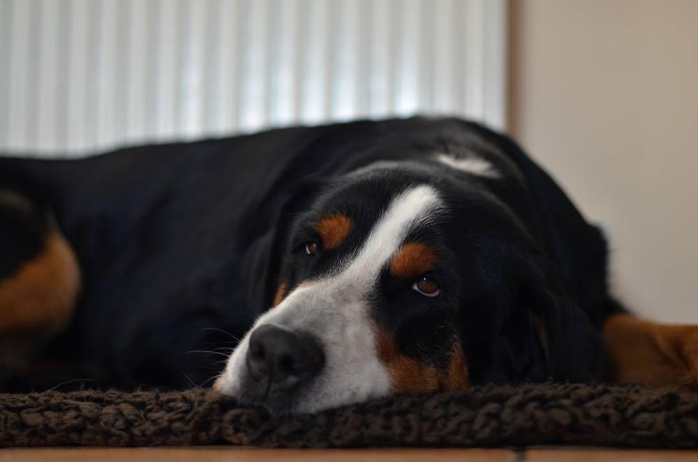 Boiadeiro do Appenzell cachorro