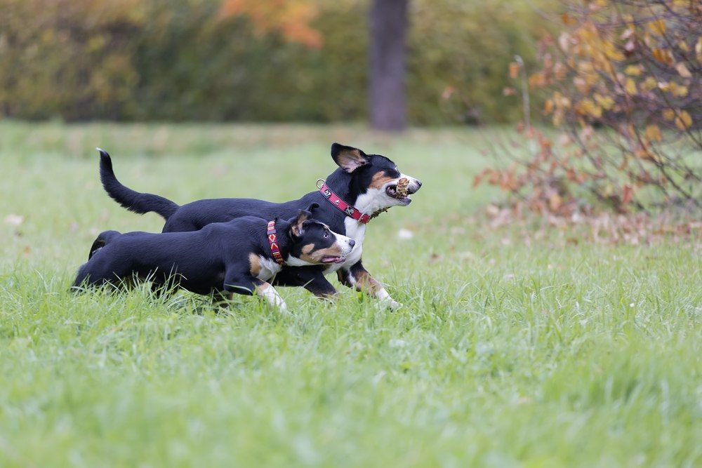 Boiadeiro de Entlebuch cão
