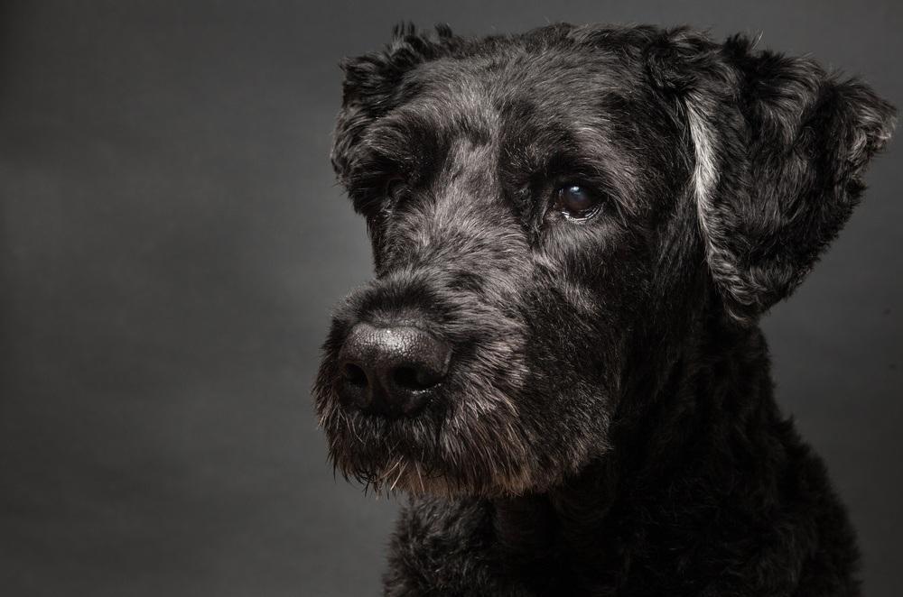 Boiadeiro da Flandres cachorro