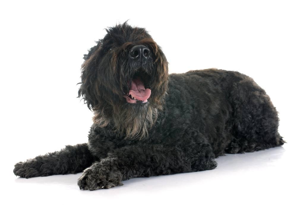 Boiadeiro da Flandres cão