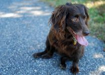 Boykin Spaniel cachorro