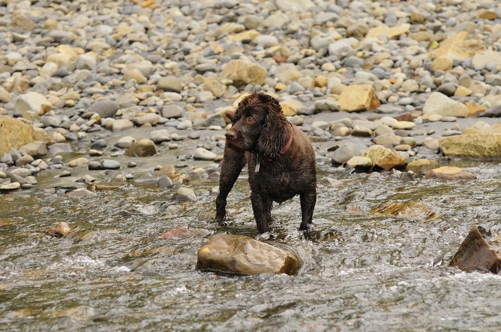 Boykin Spaniel cão