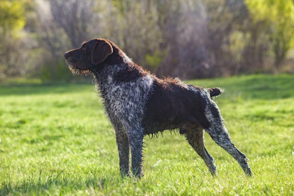 Braco alemão de pelo duro cão