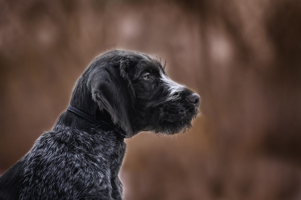 Braco alemão de pelo duro cachorro