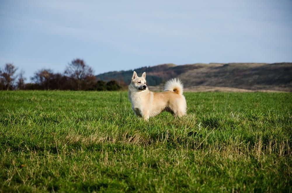 Buhund norueguês cachorro