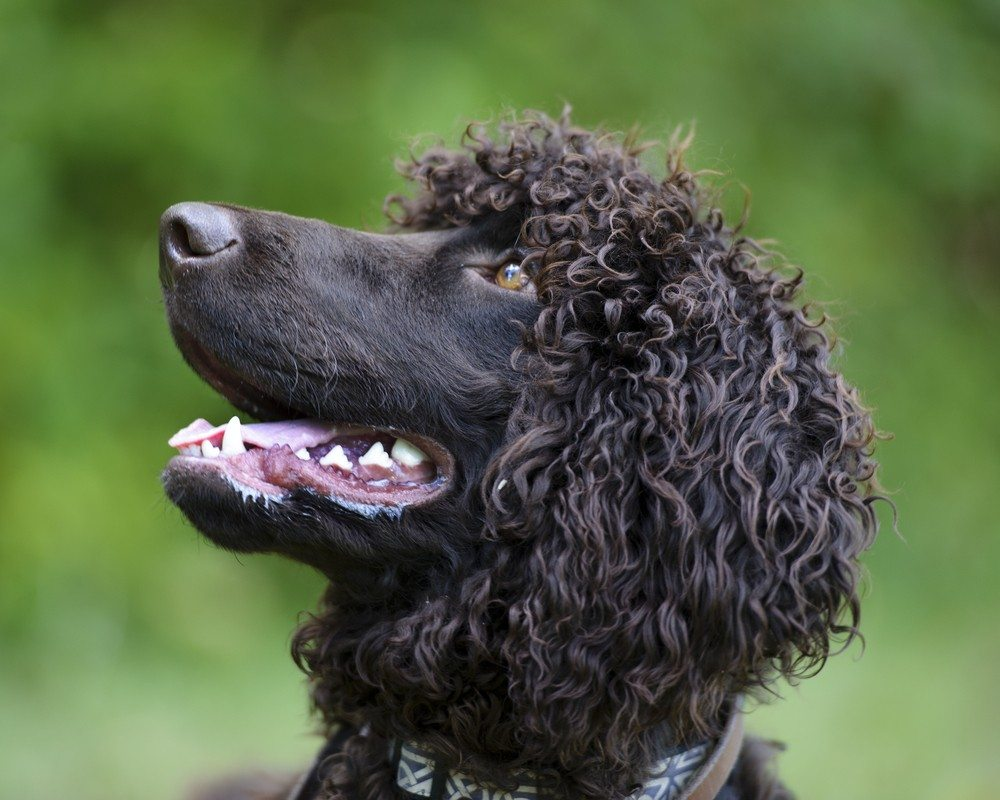 Cão d'água irlanês raça