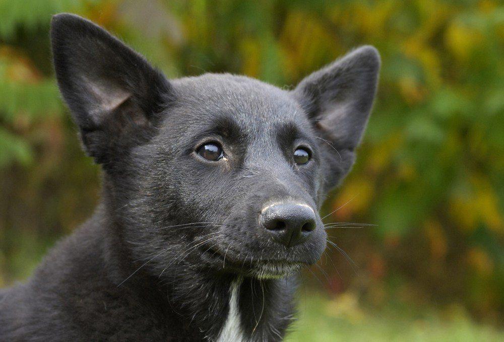 Cão de Canaã raça