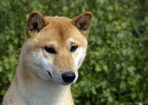 Cão de Canaã cão