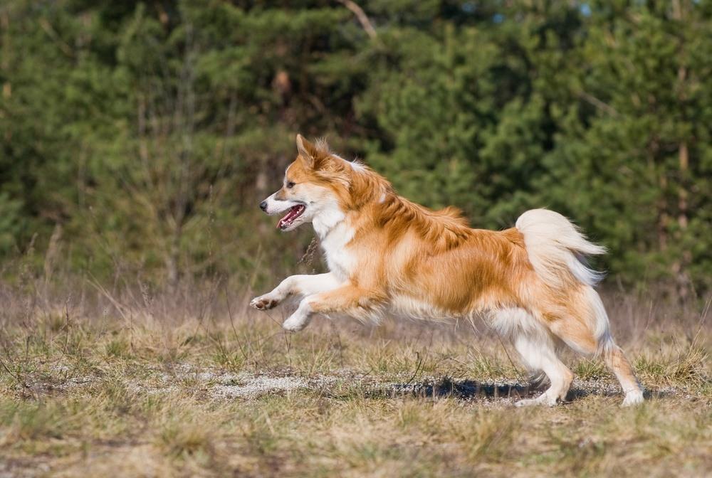 Cão islandês de pastoreio cão