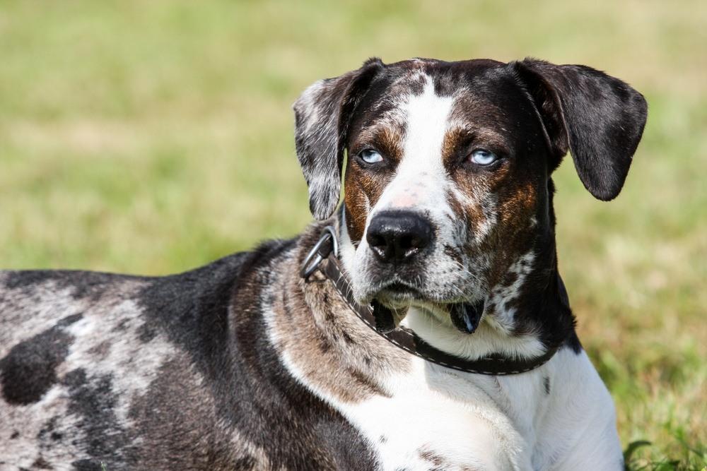 Catahoula Cur cão