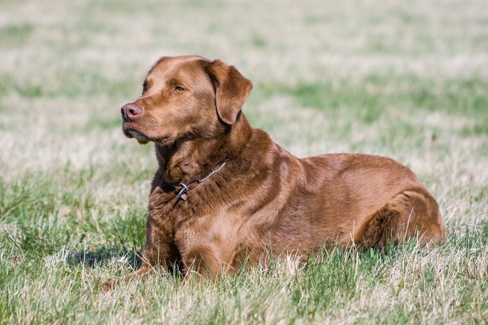 chesapeake bay retriever cachorro
