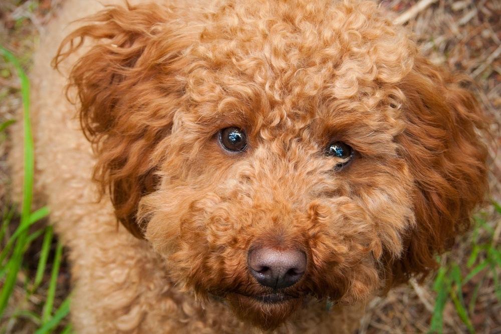 cockapoo cão