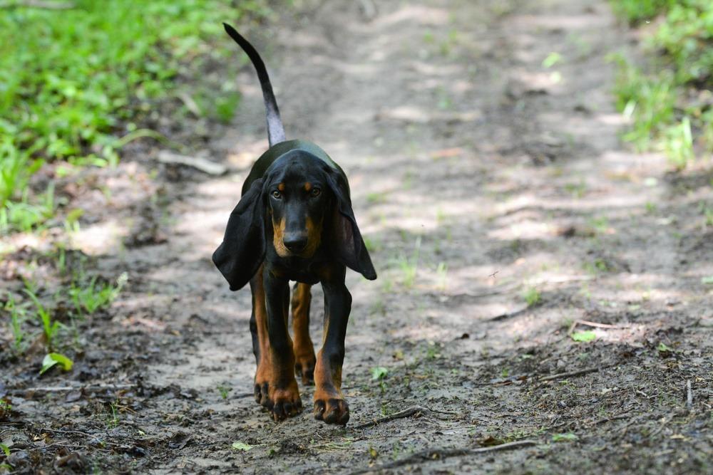 Coonhound Preto e Castanho andando