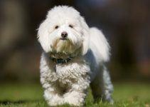 Coton de Tulear cachorro