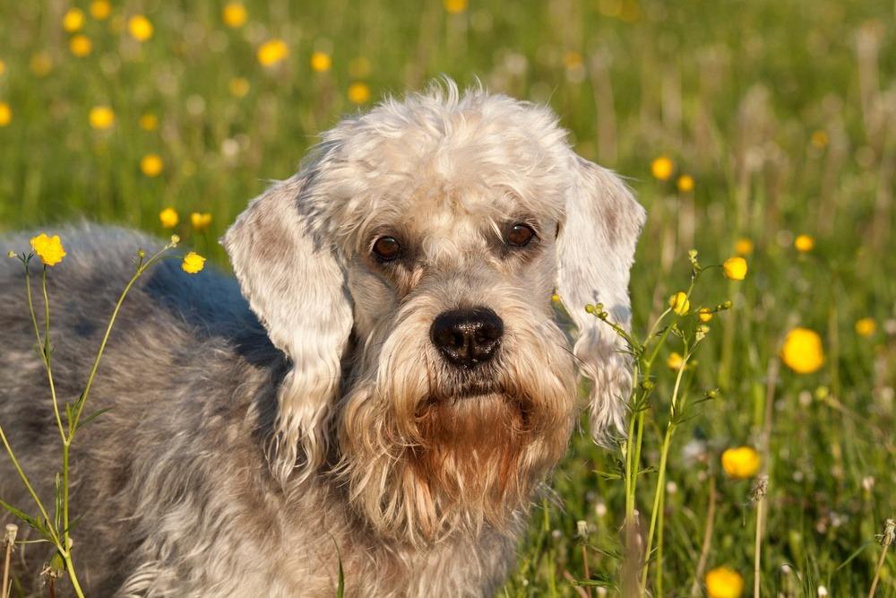 Dandie Dinmont terrier cachorro