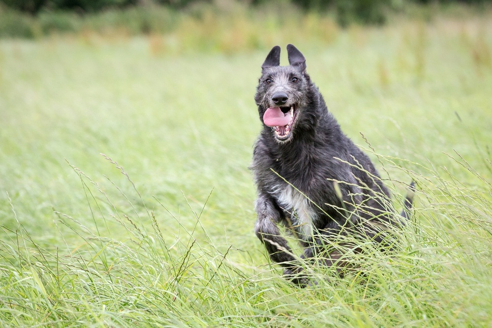 deerhound raça