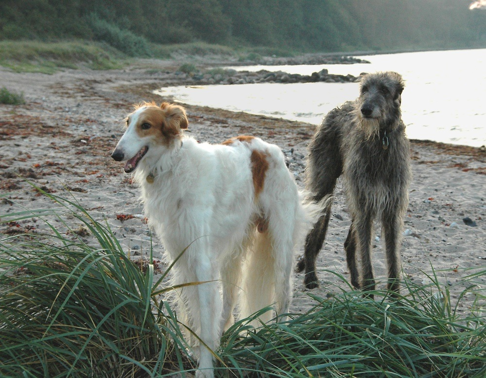deerhound cão