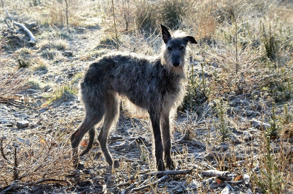 deerhound cachorro