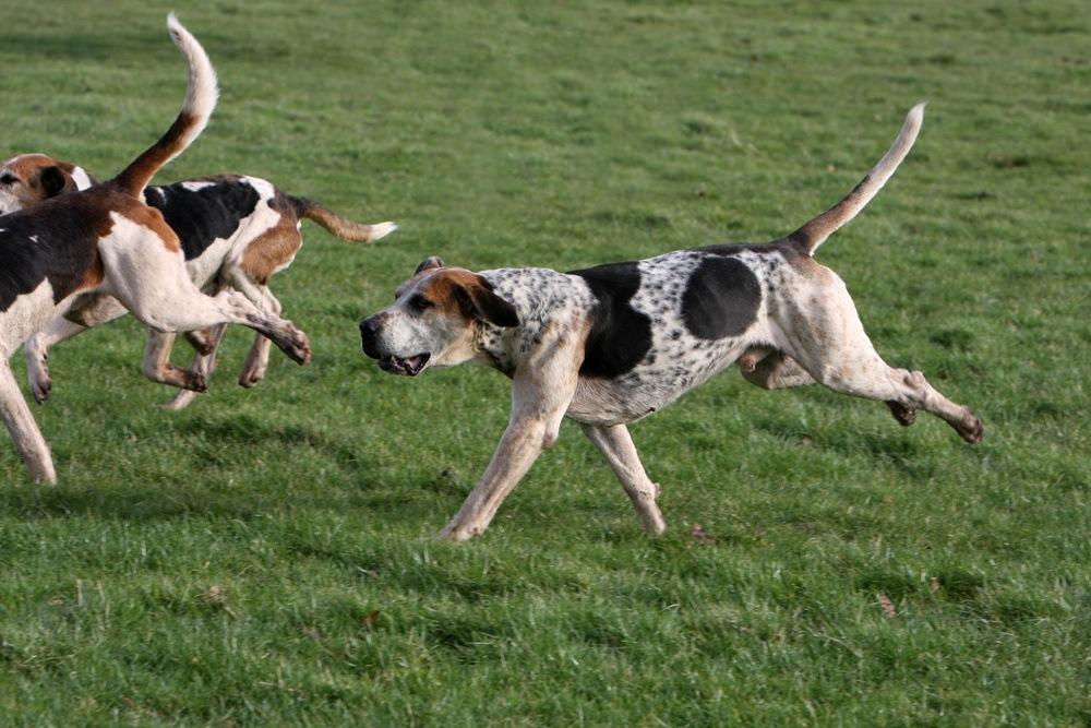 Foxhound inglês cachorro