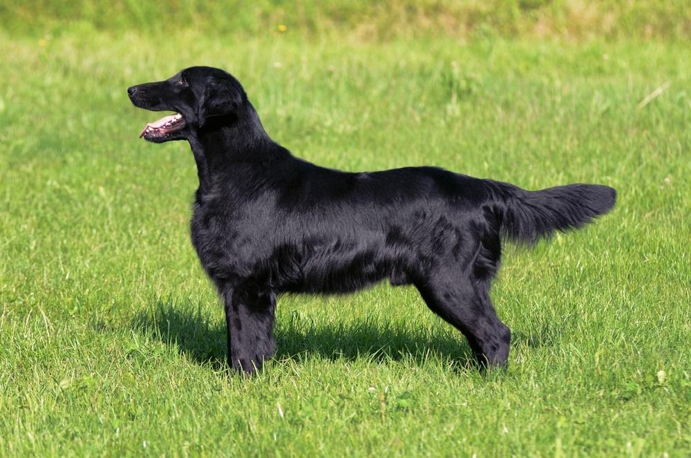 Flat Coated cachorro