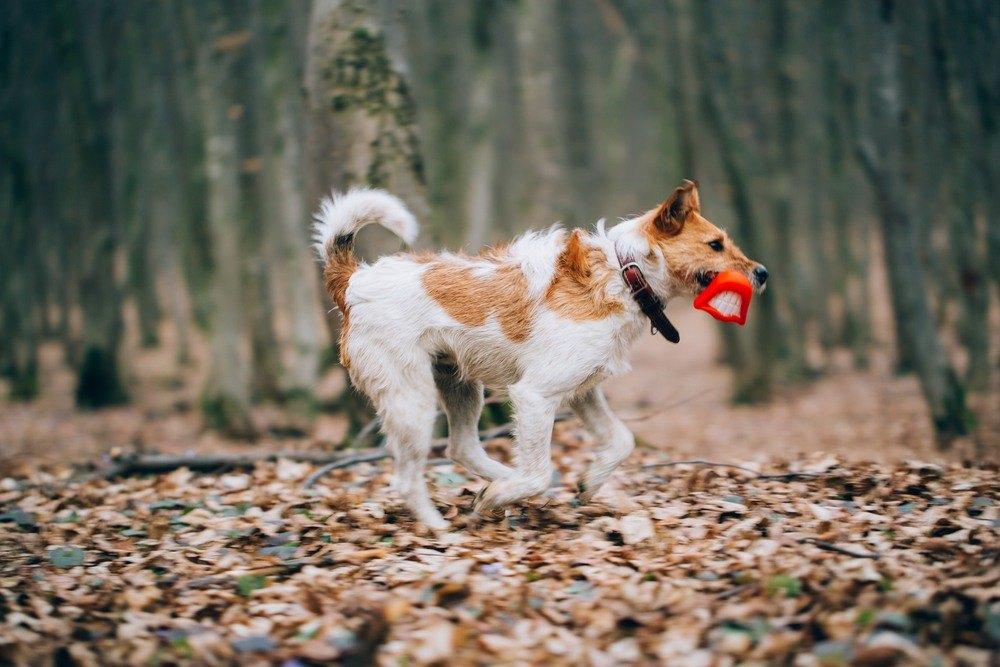 Fox terrier raça