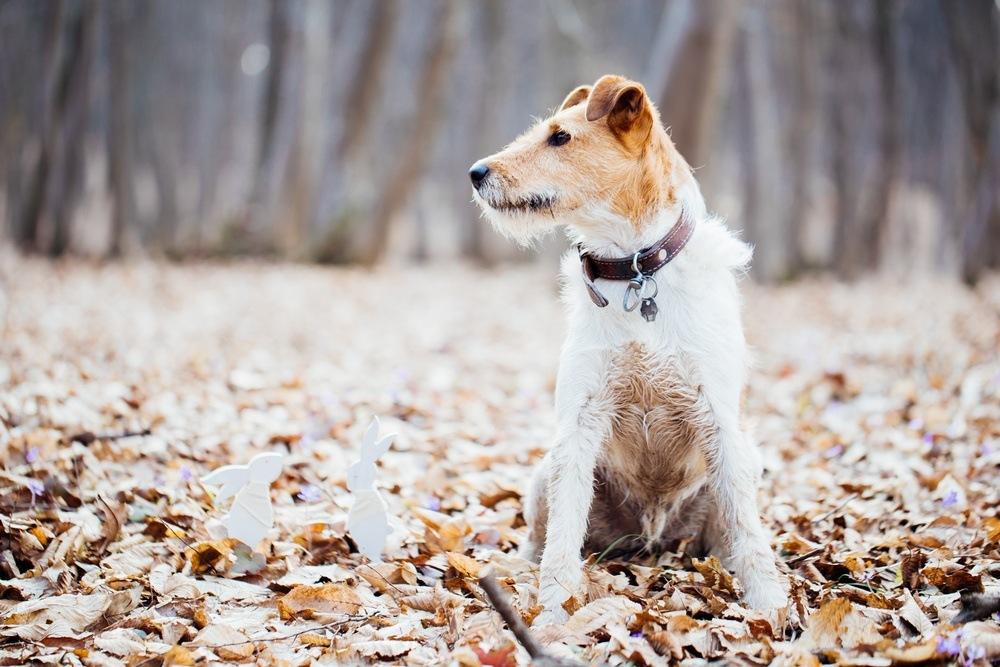 Fox terrier cão