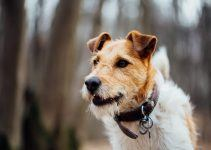 Fox terrier cachorro