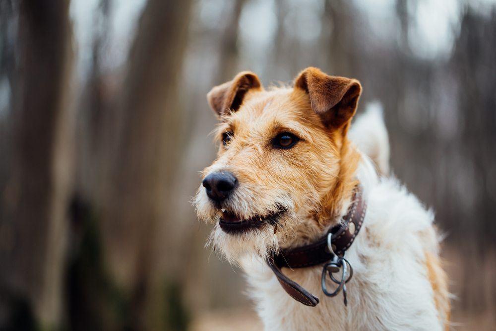 Fox Terrier Raças De Cachorro