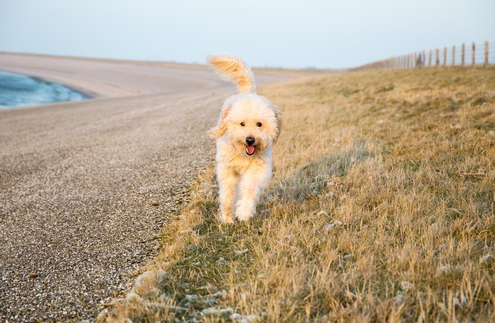 goldendoodle cão