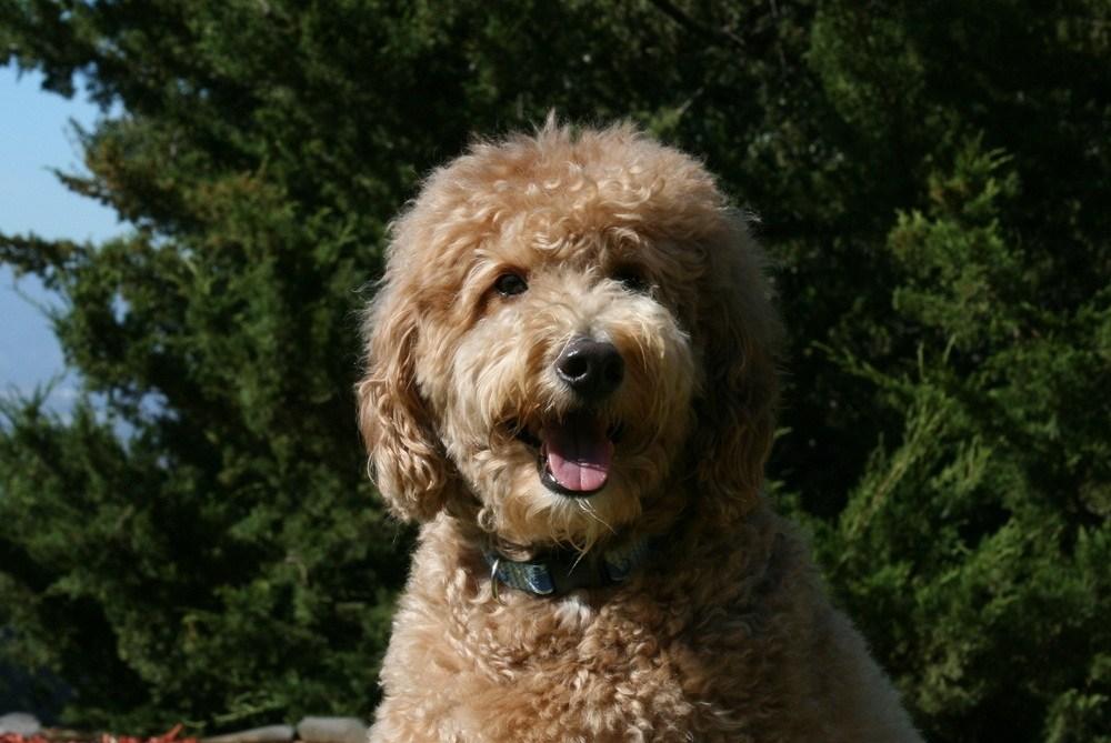 goldendoodle cachorro