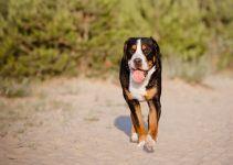 Grande Boiadeiro Suiço cão