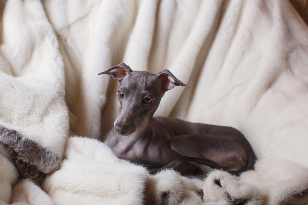 Galgo italiano cão