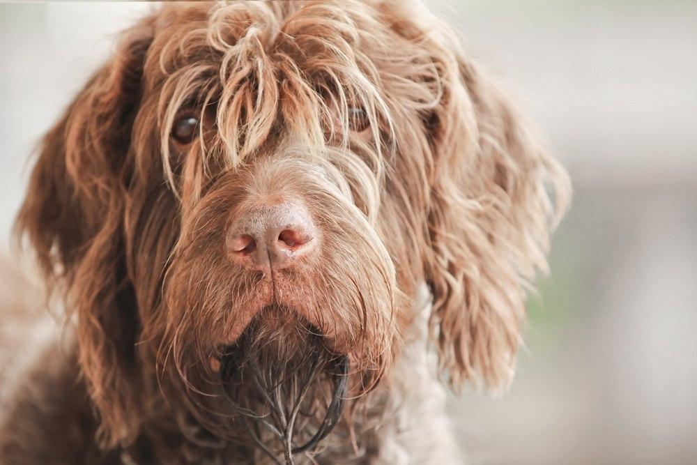 Griffon de Aponte de pelo duro cão