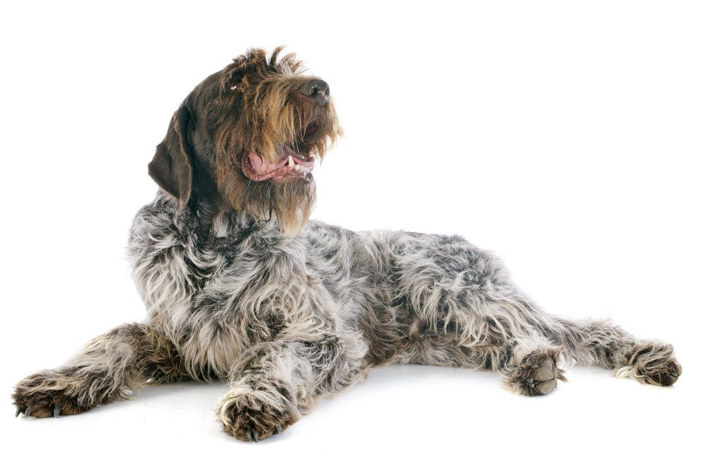 Griffon de Aponte de pelo duro cachorro