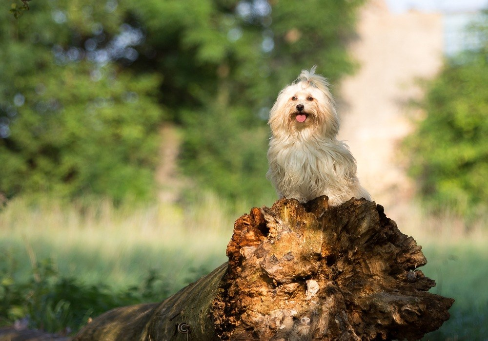 Bichon havanês cachorro