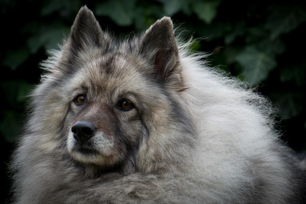 keeshond cão