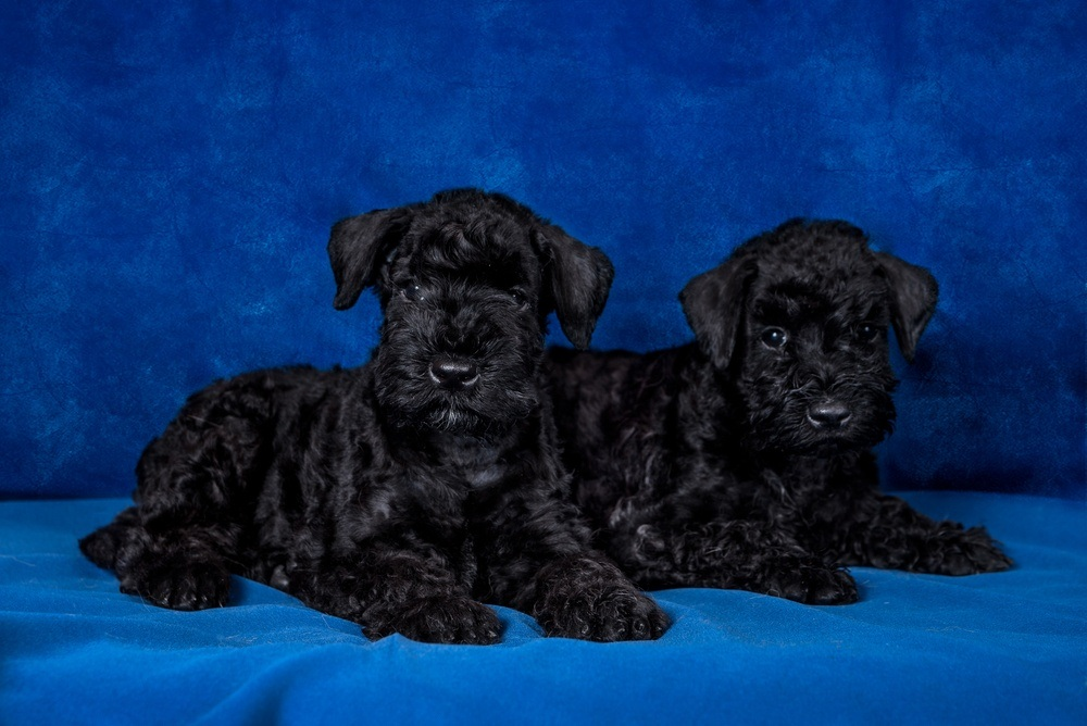 Kerry Blue terrier filhote