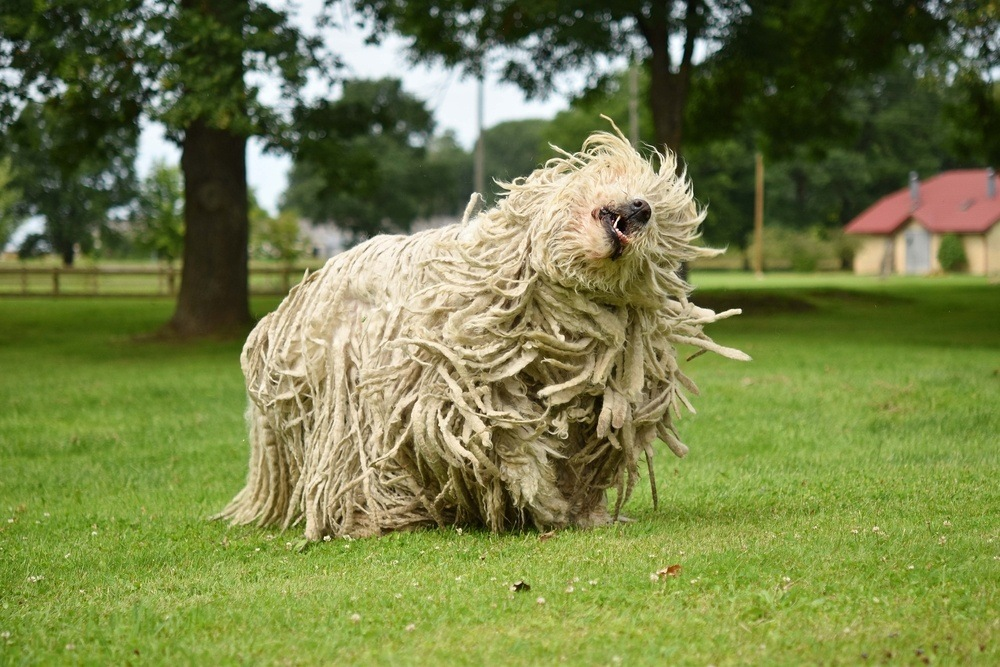 komondor cão