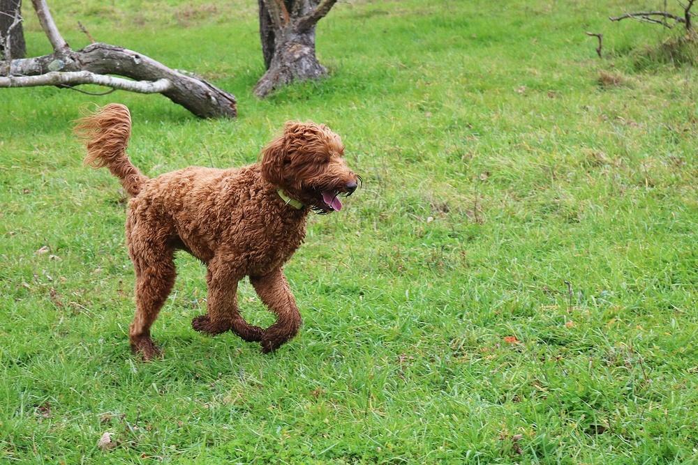 labradoodle cão