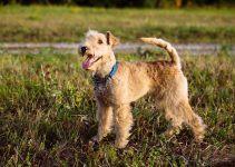 Lakeland terrier cão